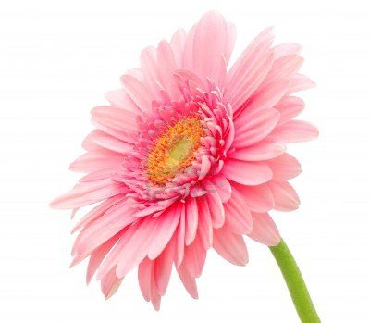 gerbera- daisy flower wallpaper 2